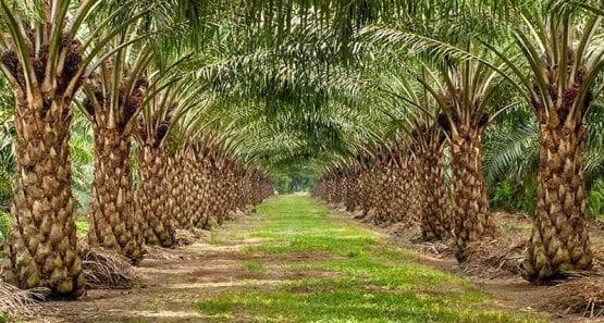 palm oil planation
