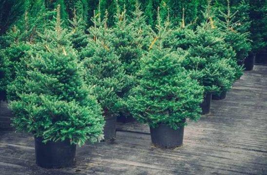 eco friendly christmas trees